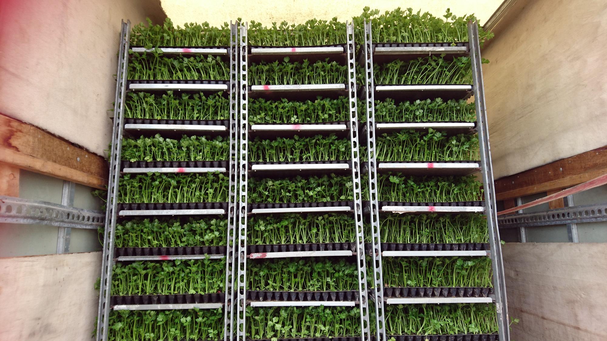 sadzonki brokuła